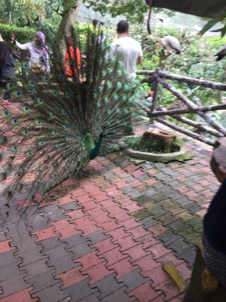 バードバークで羽根を広げる孔雀